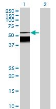Western blot - C7orf10 antibody (ab69473)