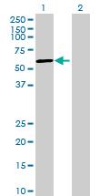 Western blot - SLTM antibody (ab69481)
