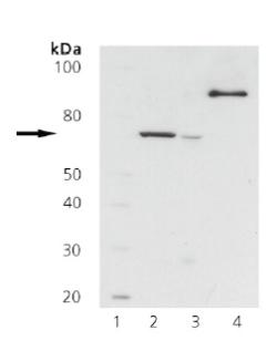 Western blot - ZAP70 antibody [11H40] (ab69505)
