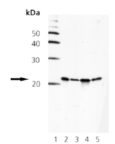 Western blot - Smac / Diablo antibody [79-1-83] (ab69509)