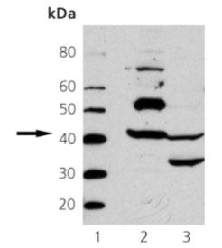 Western blot - Actin antibody (ab69512)