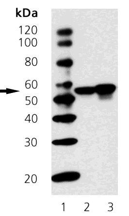 Western blot - Chk1 antibody [2G1D5] (ab69536)