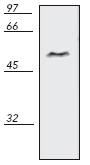 Western blot - NFkB p105 / p50 antibody (ab69546)
