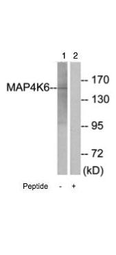 Western blot - MAP4K6 antibody (ab69563)
