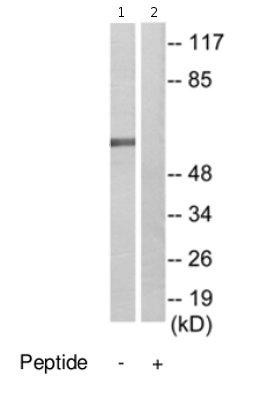 Western blot - CABLES2 antibody (ab69601)