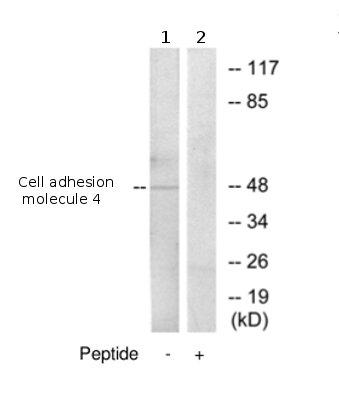 Western blot - Cell adhesion molecule 4 antibody (ab69605)