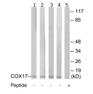 Western blot - COX17 antibody (ab69611)