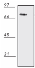 Western blot - DnaK antibody [8E2/2] (ab69617)