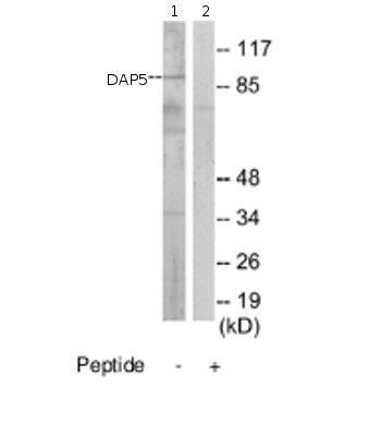 Western blot - DAP5 antibody (ab69635)