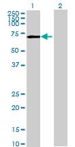 Western blot - PPWD1 antibody (ab69674)