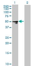 Western blot - FCRLM1 antibody (ab69676)