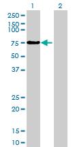 Western blot - ZNF503 antibody (ab69689)