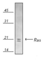 Western blot - Ras antibody (ab69747)