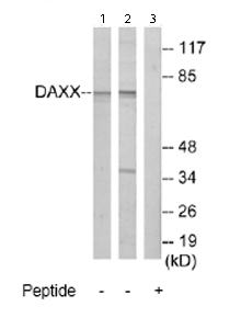 Western blot - Daxx antibody (ab69802)