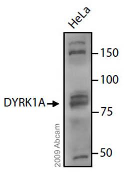 Western blot - DYRK1A antibody (ab69811)