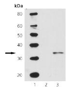 Western blot - Cdc2  (phospho Y15) antibody (ab69829)