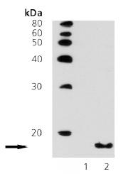 Western blot - Histone H3 (acetyl K9) antibody (ab69830)