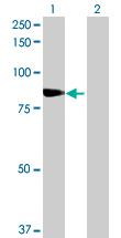 Western blot - SCEL antibody (ab69839)