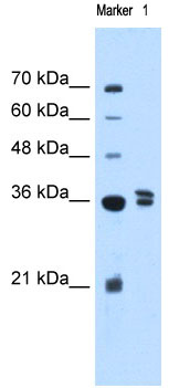 Western blot - TFB1M antibody (ab69871)