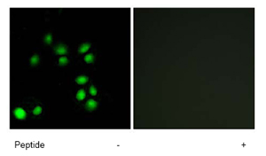 Immunocytochemistry/ Immunofluorescence - Exonuclease 1 antibody (ab69874)