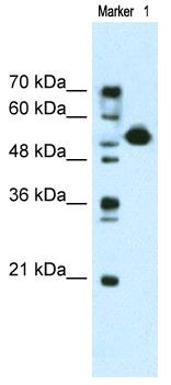 Western blot - MIER3 antibody (ab69877)