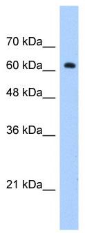 Western blot - ZNF675 antibody (ab69899)