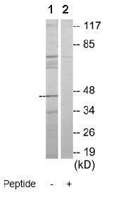 Western blot - ATG4B antibody (ab69937)