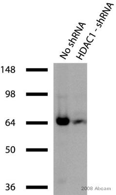 Western blot - HDAC1 antibody - ChIP Grade (ab7028)