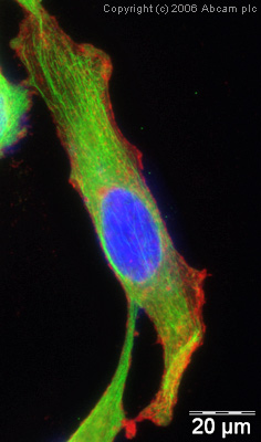 Immunocytochemistry/ Immunofluorescence - alpha Tubulin antibody [DM1A] - Loading Control (ab7291)