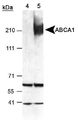 Western blot - ABCA1 antibody (ab7360)