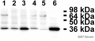 Western blot - Lactate Dehydrogenase antibody (HRP) (ab7639)