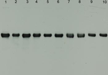 Western blot - alpha Internexin antibody [2E3] (ab7654)