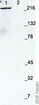 Western blot - Nestin antibody - Neural Stem Cell Marker (ab7659)