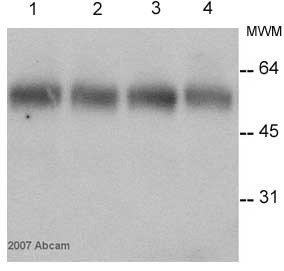 Western blot - alpha Tubulin antibody [TU-01] (ab7750)