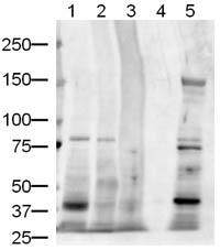 Western blot - Jagged1 antibody (ab7771)