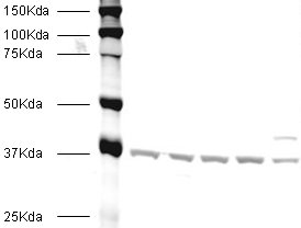 Western blot - alpha smooth muscle Actin antibody [1A4] (ab7817)