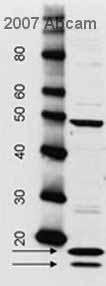 Western blot - Histone Core antibody (ab7832)