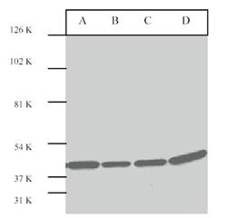 Western blot - Anti-ERK2 antibody (ab7948)