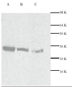 Western blot - Cdk2 antibody (ab7954)