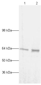 Western blot - Anti-NF-kB p65 antibody - ChIP Grade (ab7970)