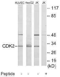 Western blot - Cdk2 antibody (ab70012)