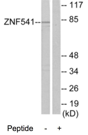 Western blot - ZNF541 antibody (ab70020)