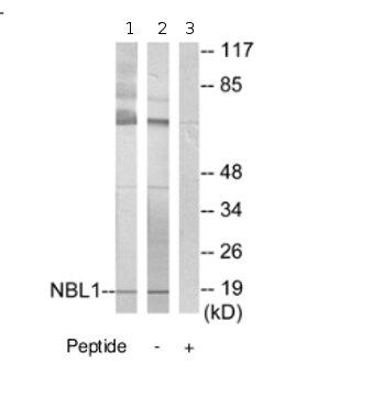 Western blot - NBL1 antibody (ab70066)