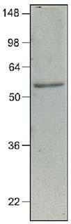 Western blot - IRF7 antibody [3D9] (ab70069)