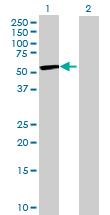 Western blot - HS3ST3A1 antibody (ab70079)