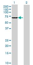 Western blot - SH2D3A antibody (ab70141)