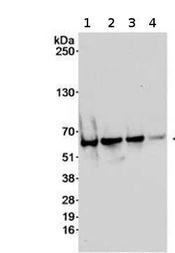 Western blot - CAMKIV antibody (ab70229)