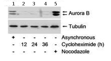 Western blot - Aurora B antibody (ab70238)