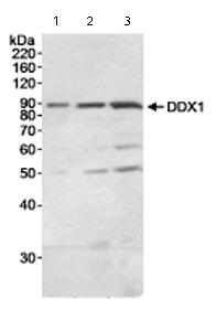 Western blot - DDX1 antibody (ab70252)