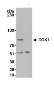 Immunoprecipitation - DDX1 antibody (ab70252)